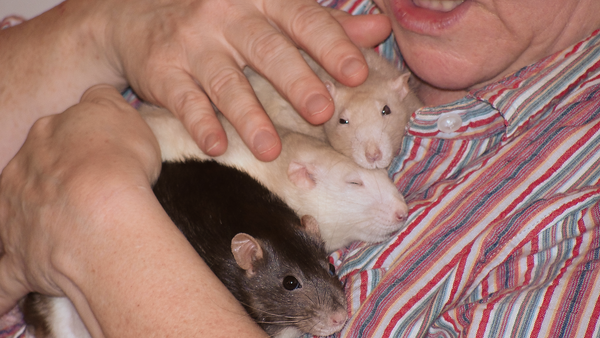 Gwen and her 3 remaining rats, Lila, Melody, and Chancy, November 2010.