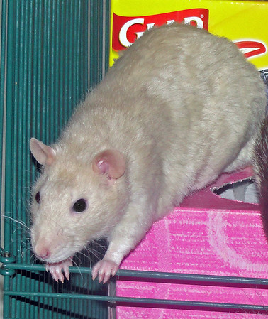 """A young (at ~20 mos old) Lady Lila (""""Lie-lah""""), smarty, frowny Mood Rat, Gorgeous Fuzz Butt."""