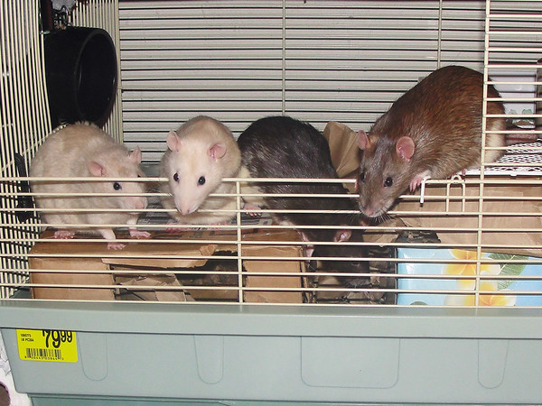 """Where are the treats? This is supposed to be treat time. Stop that."" The rats at a younger age."