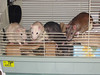 """""""Where are the treats? This is supposed to be treat time. Stop that."""" The rats at a younger age."""