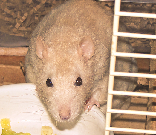 Lila, a very serious rat, stares at me thoughtfully.