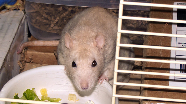 Lila Rat stares at Gwen thoughtfully,