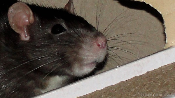Black berkie ears, eyes, whiskers, lips. This old lady rat is 39 months old, so her snoot has turned from black to white and grey. It's not so easy to tell from this photo, but black berkshire rats, having a white belly, are half black and half white on all their rat parts: ears, eye lashes, whiskers, top of nose, and lips, will all have some white, and some black.