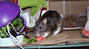 Chancy munches watermelon. Litter box cut with an opening to help hind-end weak-rats enter and exit.