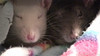 Melody and Chancy peek out of a warm fleece blanket.