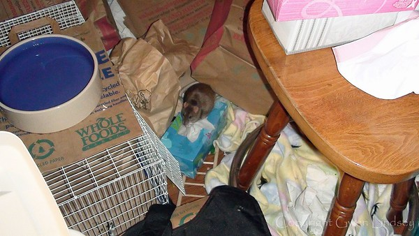 I toss everything into the rat room, and let the rats play and wreck havoc there, while I clean cages. This is the height of messiness. My feet are trained to NOT MOVE while I'm cleaning cages and the rats are loose.