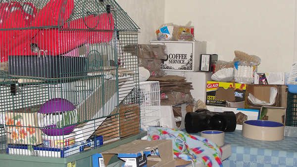 """From an 8' x 12' """"room"""" to some tabletops filled with boxes, the rats now scamper more slowly at 86 human years old (3 years, 3 months' in rat age). They're not interested in climbing to the tops of the boxes and don't try to knock everything out of order, but they still check out every nook and cranny."""