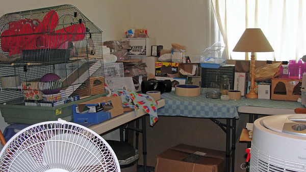 "From an 8' x 12' ""room"" to some tabletops filled with boxes, the rats now scamper more slowly at 86 human years old (3 years, 3 months' in rat age). They're not interested in climbing to the tops of the boxes and don't try to knock everything out of order, but they still check out every nook and cranny."