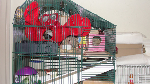 Adding a ramp to a cage to assist rats with early hind-end nerve degeneration. This is a bird cage where the levels are wide apart, wider than would be found in a rodent-specific cage. To reduce the amount of climbing required, cardboard boxes now layer the entire floor, raising the floor level and reducing the amount of space between the levels. The ramp is a cardboard cat scratcher thing (minus the packet of catnip that came with it). It rests on boxes of a particular height that keep it at an ideal angle, and a bowl at the bottom holds the ramp in place. The cardboard is soft and yet offers an excellent grip. The old lady rats have chosen not to gnaw the ramp into shreds, but if they wanted to, they could for enrichment. The rats are also litter-box trained and have expressed no interest in peeing on the ramps. However, their human is quite willing to replace the ramps if needed.