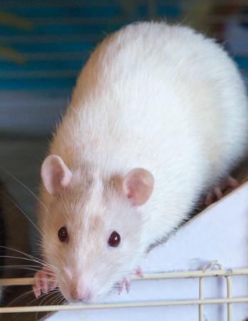 Robin Rat.