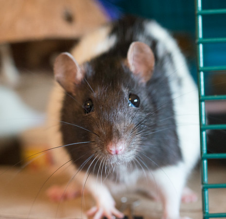 """Mijah (""""Mee-jah"""") is a second rat that was taking from a very poor environment. Of all my rats, she's a little more cautious about any new thing. She's listening to my baby talking, which I've conditioned my rats to understand means """"all safe here, really!"""" They're able to calm down. I'm very happy to say that Mijah didn't feel the need to run and hide."""