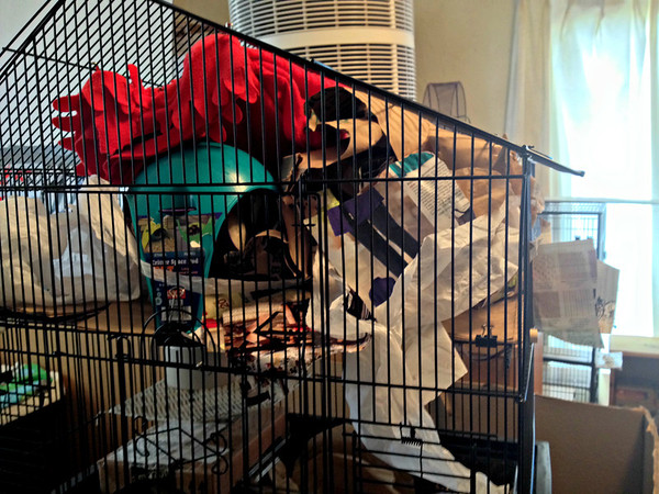 Willow builds up her nest, taking up the entire top level of her cage. There are tunnels and multiple doors. I strip it all out once a week so she has to start over. Then I feed her fresh coffee filters or magazine shreds every night so she can build bigger.