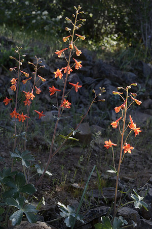 Red larkspur.