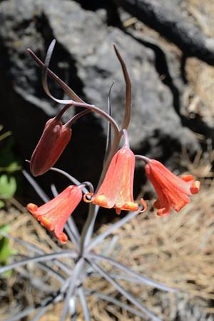 Fritillaria recurva (Liliaceae).