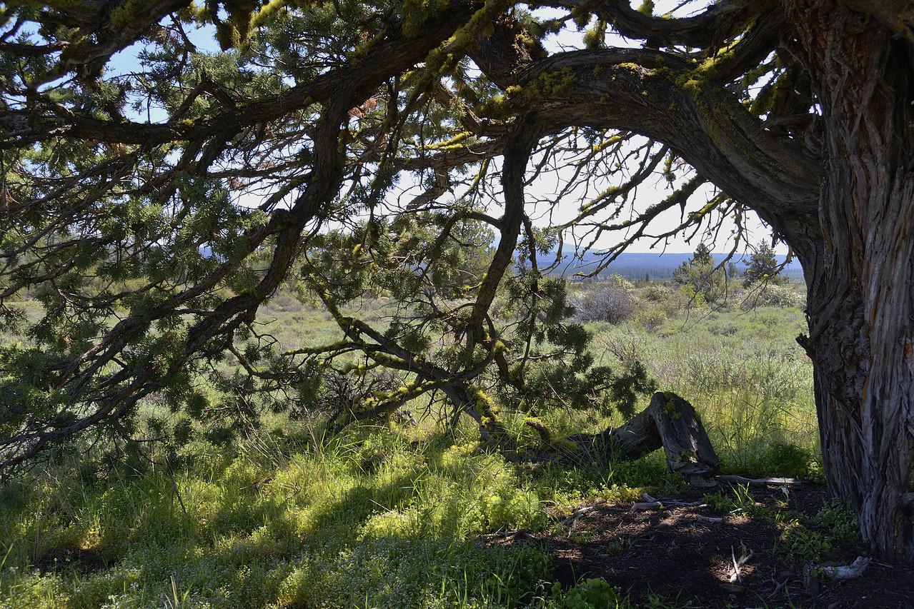 Didn't quite capture the scene beneath this huge juniper...