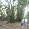 Banzanya tree -