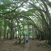 All that is just one banzanya tree - the biggest in Oahu