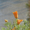 California poppy in the front yard