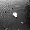swan and ducks on brouwersgracht