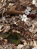"White Hepatica americana, or ""liverwort"""