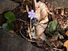 A Purple Hepatica americana, also known as Liverwort