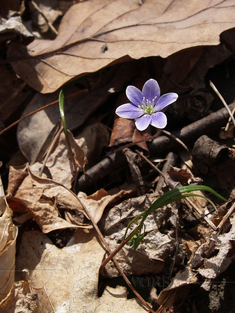 Purple Hepatica (liverwort)