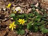Lesser Celandine, an invasive species
