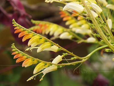 Flowering vine (needs I.D.) - Ottsville, PA