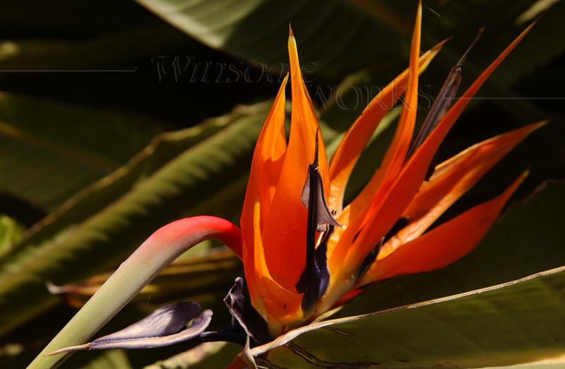 Bird-of-paradise flower (Strelitzia) - Pacific Beach, CA