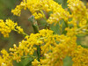 Preying Mantis in Goldenrod; September, Quakertown PA