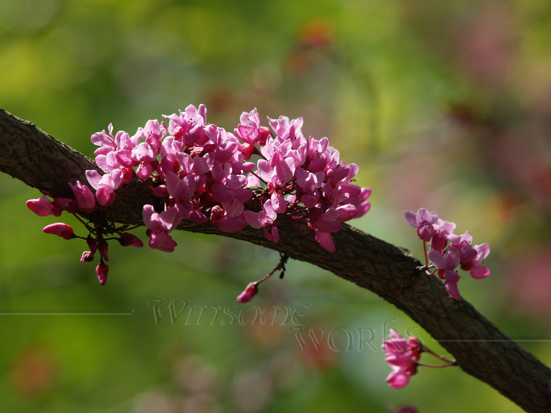 """Cercis canadensis """"Forest Pansy"""" (redbud) in Spring"""
