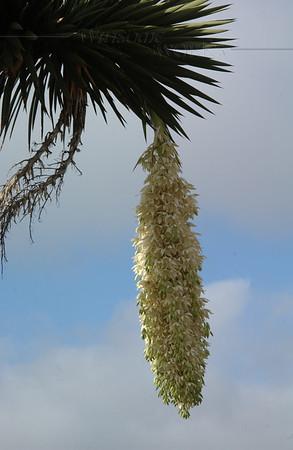 Flowering Palm along coast in La Jolla (Needs I.D.)
