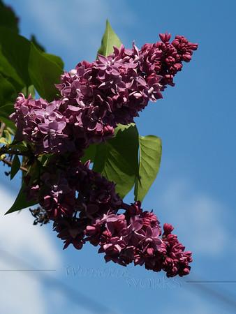 Lilac & Sky