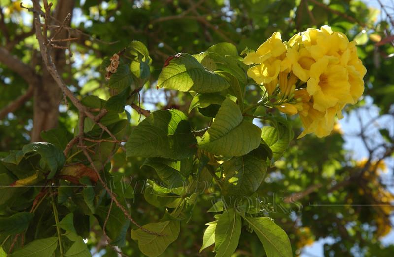 Flowering tree in San Diego Old Town, CA (Needs I.D.)