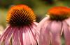 Purple coneflower (echinacea)