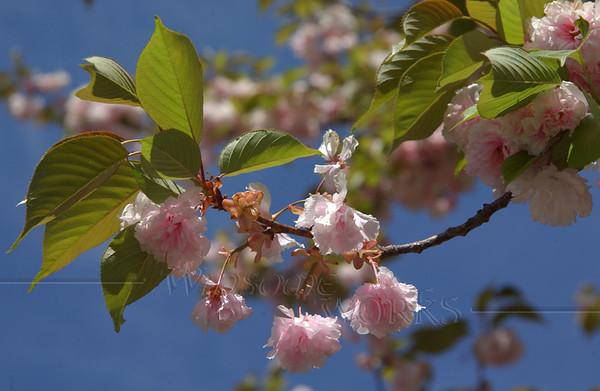 Flowering tree (Needs I.D.) - Harleysville, PA