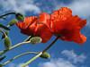 Glorious poppies; Quakertown, PA