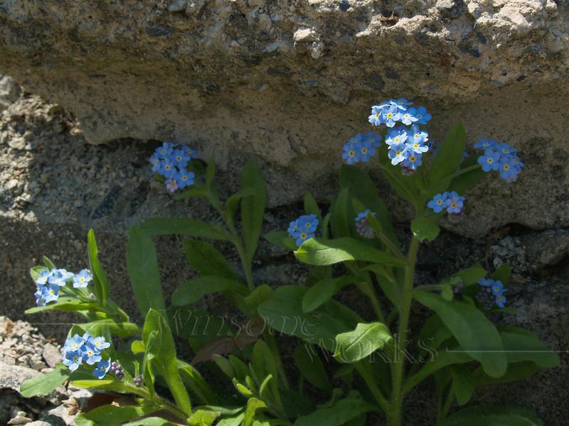 Forget-me-nots (Myosotis) growing in rubble; May, Pennsylvania