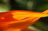 Bird-of-paradise flower macro (Strelitzia reginae) - Pacific Beach, CA