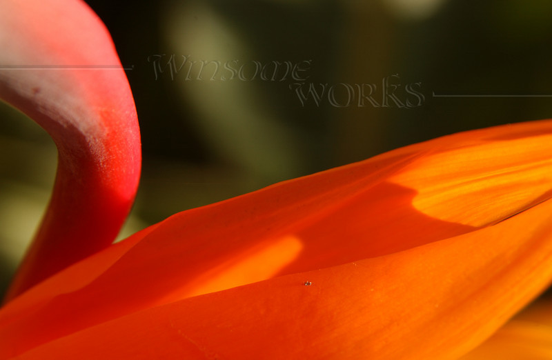 Bird-of-paradise flower macro (Strelitzia) - Pacific Beach, CA
