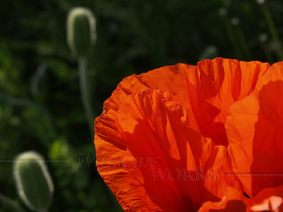 Poppy with seed pods; Quakertown, PA