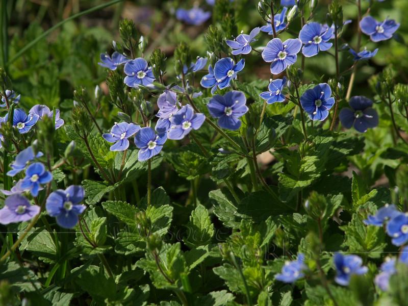 "Veronica peduncularis ""Georgia Blue"" in Springtown, PA"