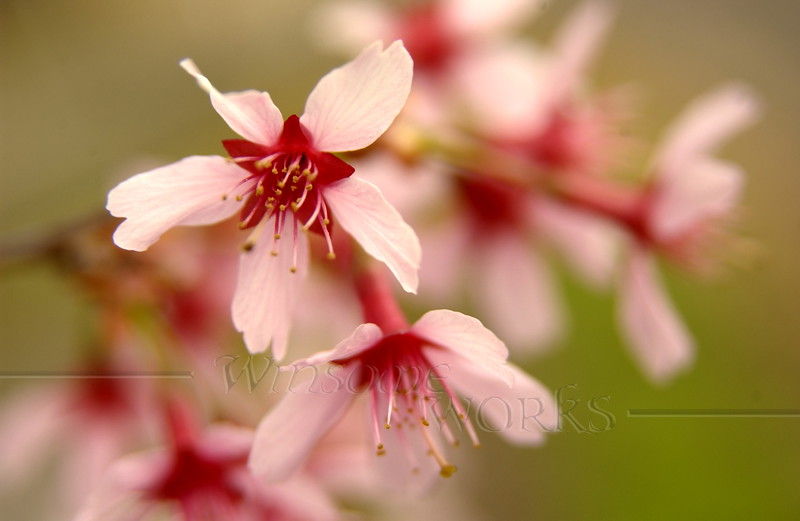 Flowering tree in spring  (weeping cherry?) - 3/22/2012