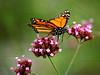 Monarch on Purpletop vervain ( Verbena bonariensis ) - Fairview, NC - This is how I think of Sally now- as a graceful butterfly visiting all the flowers.