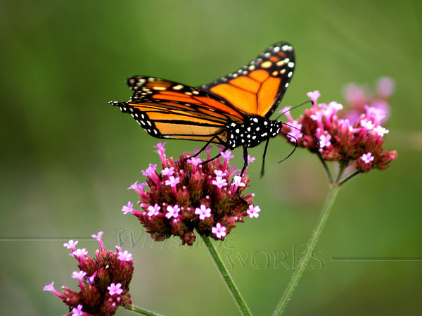 This is how I think of Sally now- as a graceful butterfly visiting all the flowers. Monarch on Purpletop vervain (Verbena bonariensis) - Fairview, NC