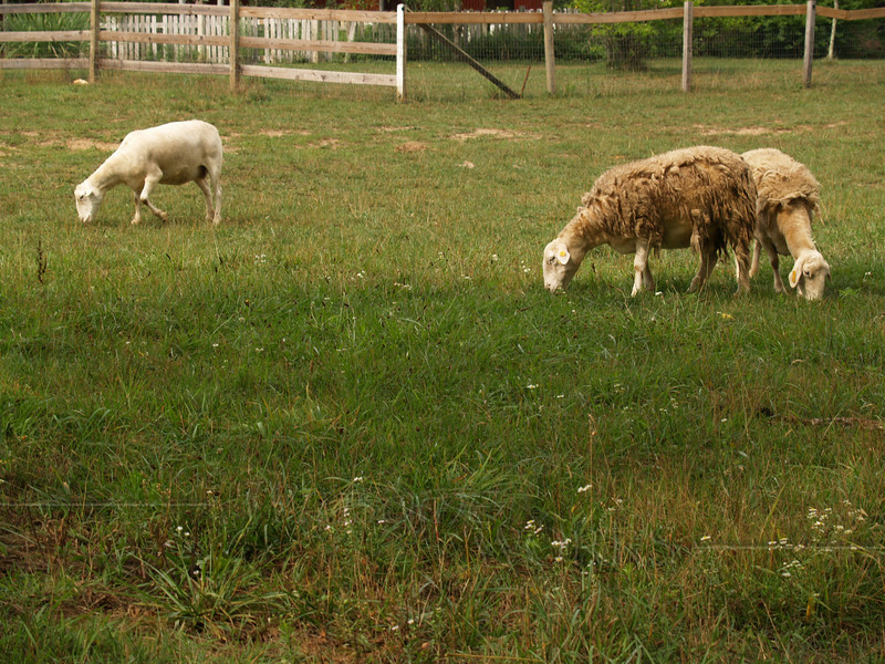 Sally liked sheep and the idea of a shepherd. Many of her favorite songs and hymns had images of shepherds in them.   (Sheep in pasture at Troyer's store)