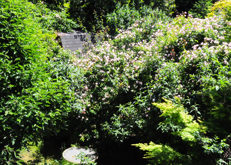 Cecile Bruner climbing rosebush that Jo gave me when it was just a small plant in a container.