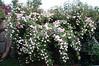 Cecile Bruner rosebush in Didi's yard. Jo gave me this plant in a pot years ago.