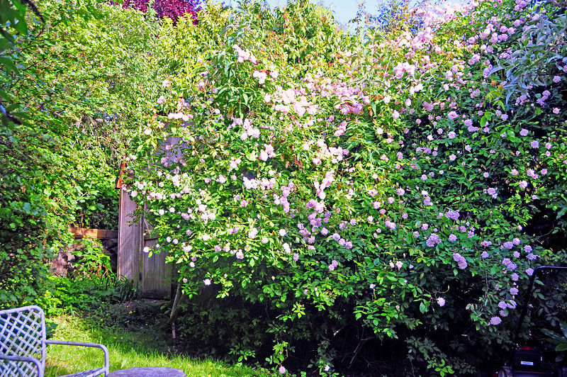 May 2014 - Cecile Brunner climbing rosebush.  Jo gave it to me when it was about 2 feet high in a pot.  Now it covers a building.
