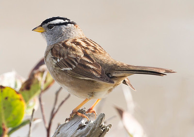 ... and this lovely White-Crowned Sparrow.